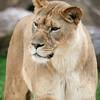 Lioness Tulsa Zoo