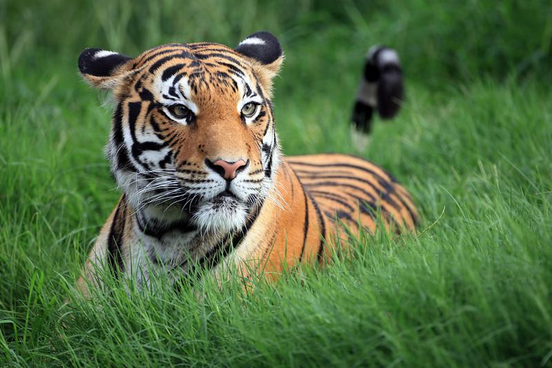 Malayan Tiger Tulsa Zoo