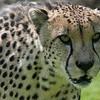 Cheetah Tulsa Zoo