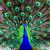 Peacock San Diego Zoo