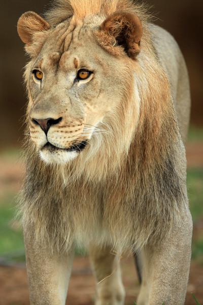 juvenile lion Tulsa Zoo