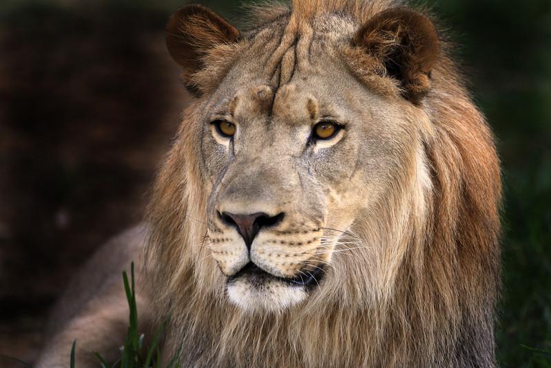 Lion gaze