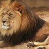 Lion Tulsa Zoo
