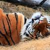 Tiger Tulsa Zoo
