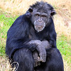 Resting Chimpanzee Tulsa Zoo