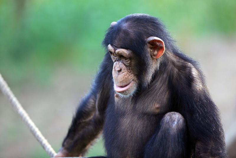 Tulsa Zoo juvenile chimpanzee