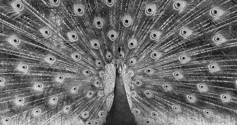 Monochrome Peacock