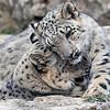 Snow Leopard Cubs Tulsa Zoo