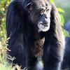 Tulsa Zoo Chimpanzee