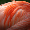 Flamingo Feathers Tulsa Zoo