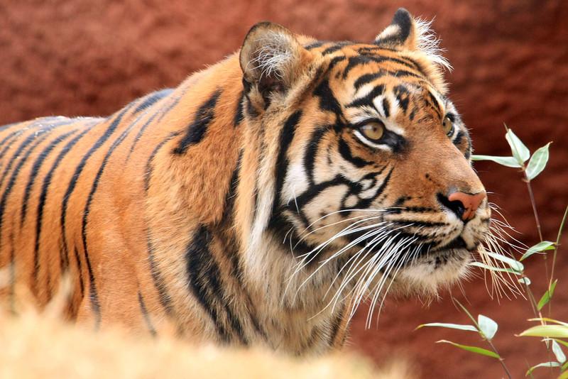 Tiger Oklahoma City Zoo