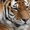 Malayan Tiger Brookfield Zoo