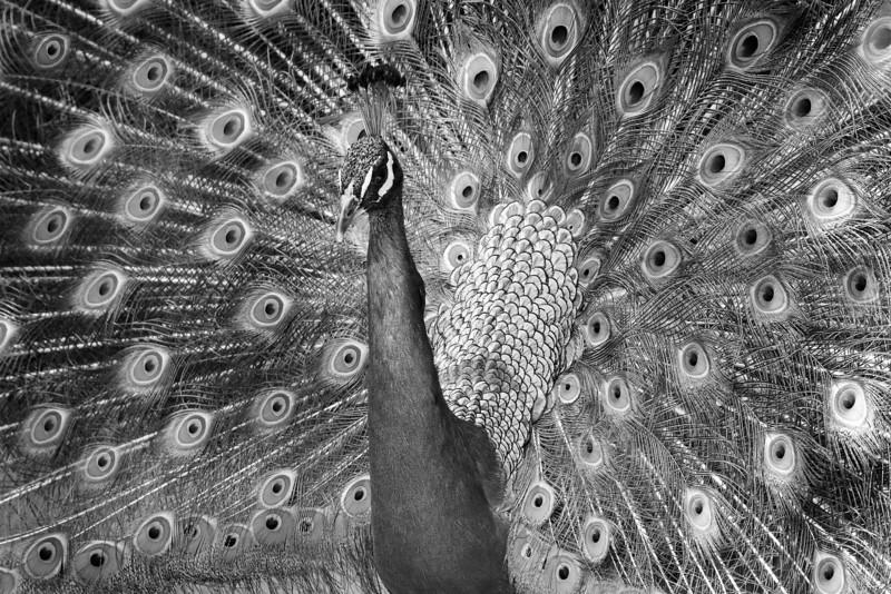 Monochrome Peacock San Diego Zoo