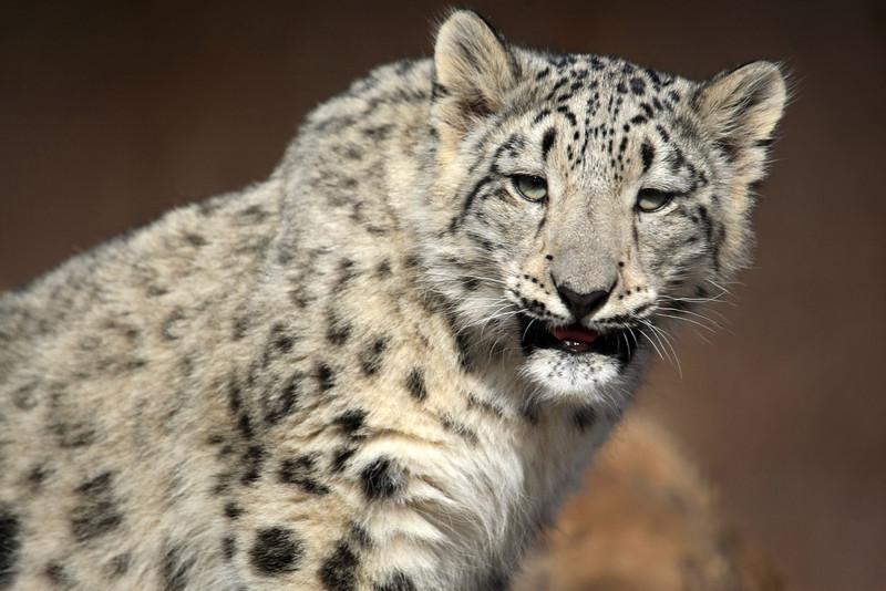 Snow Leopard cub Tulsa Zoo