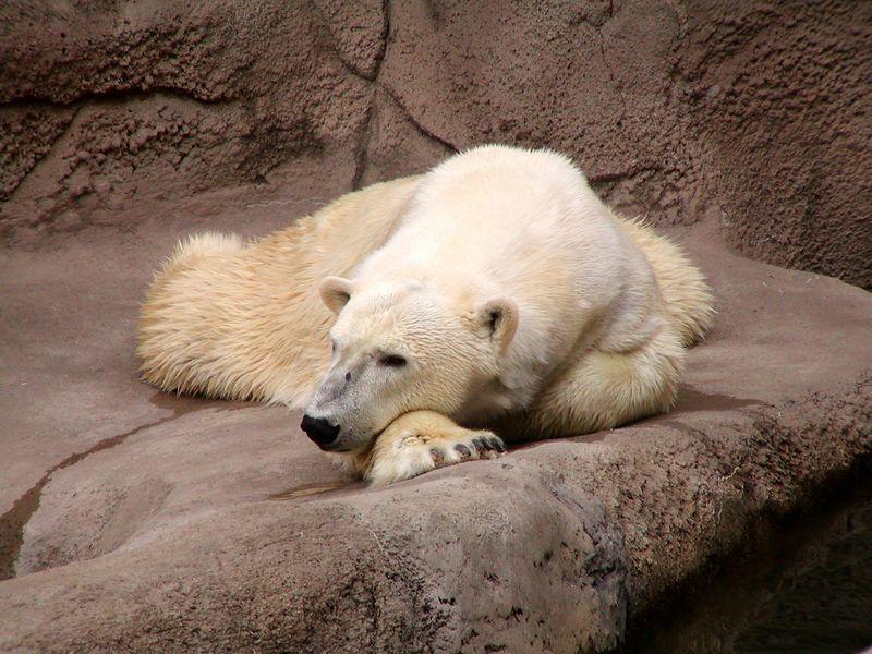 Reclining Polar Bear