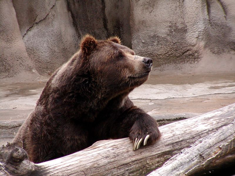Grizzly (Marvelous Claws!)