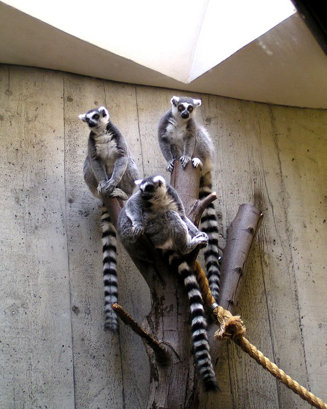 Ring Tailed Lemurs.<br /> This was shot through some dirty glass, and not too sharp, but they posed beautifully!