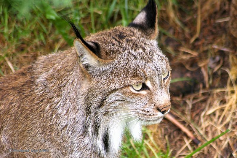 nature/faune Lynx du canada Zoo%20st%20felicien161-L