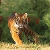 Sumatran Tiger, National Zoo, Washington, DC.