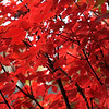 Is it a Maple tree? National Zoo, Washington, DC.