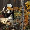 Giant Panda Tai Shan, National Zoo, Washington, DC.
