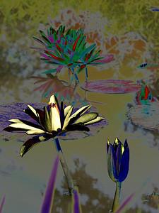 Water lilies enhanced, Kenilworth Aquatic Gardens, Washington, DC