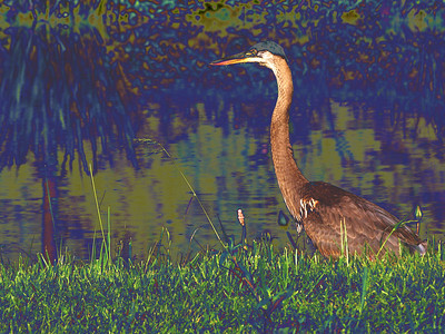 Blue Heron, Kenilworth Aquatic Gardens, Washington, DC
