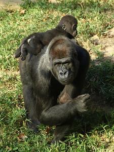 Mandara gives her daughter Kibibi a ride, National Zoo, Washington, DC.