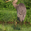 Blue Heron, Kenilworth Aquatic Gardens, Washington, DC