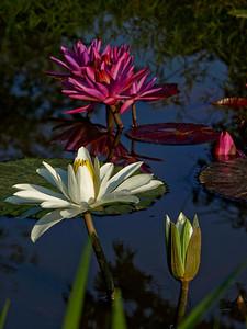 Water lilies, Kenilworth Aquatic Gardens, Washington, DC