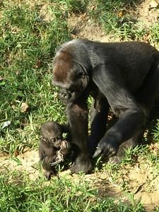 Baby Kibibi explores her world, National Zoo, Washington, DC
