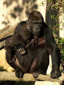 Mandara and her daughter Kibibi have breakfast, National Zoo, Washington, DC.
