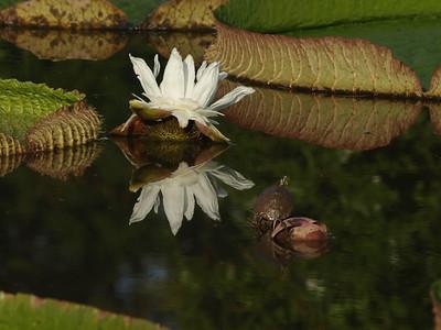 Victoria Water lily, turtle, Kenilworth Aquatic Gardens, Washington, DC