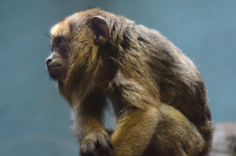 howler monkey National Zoo Washngton DC Photo by Tim Brown