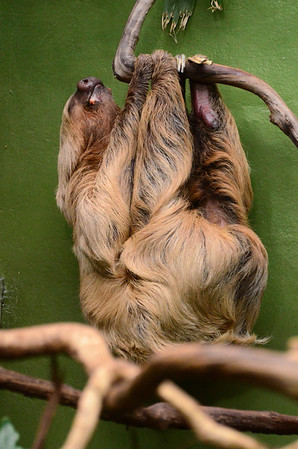 two-toed sloth National Zoo Washngton DC Photo by Tim Brown