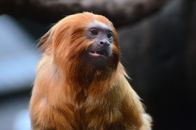golden lion tamarin  National Zoo Washngton DC Photo by Tim Brown