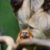 golden lion tamarin,  two-toed sloth National Zoo Washngton DC Photo by Tim Brown