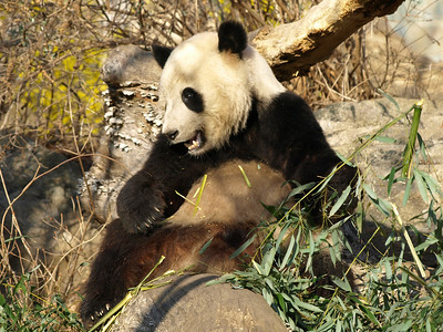 Tai Shan has a new spot for his breakfast bamboo. Delicious!