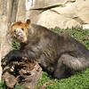 Spectacled Bear enjoys the sun, National Zoo, March 22, 2009.