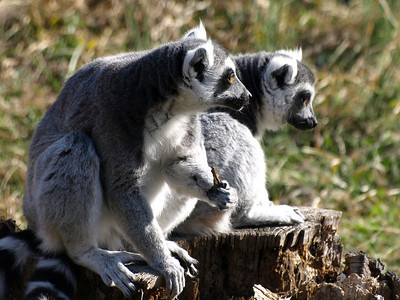 Ring-tailed Lemurs at Lemur Island, National Zoo, March 22, 2009.