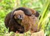 Red Bellied Lemurs