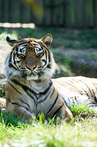 Sumatran Tiger Panthera tigris sumatrae  Order - Carnivora Family - Felidae  Length: males 234 cm, females 198 cm Weight: males 100-140 kg, females 75-110 kg Geographic Range: Sumatra  More information about Tigers in Encyclopedia of Life