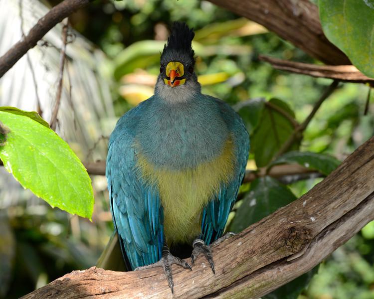 Great Blue Touraco
