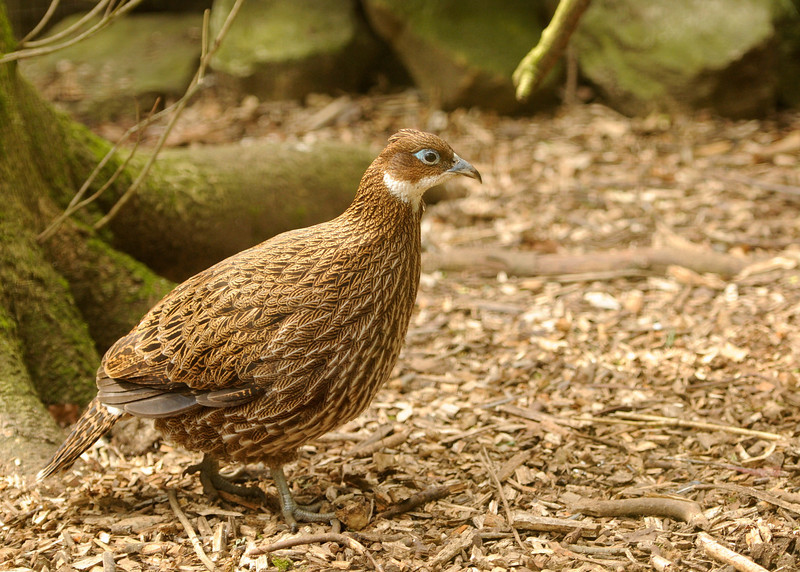 Himalayan Monul (Female)
