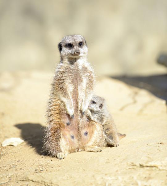 Slender Tailed Meerkat