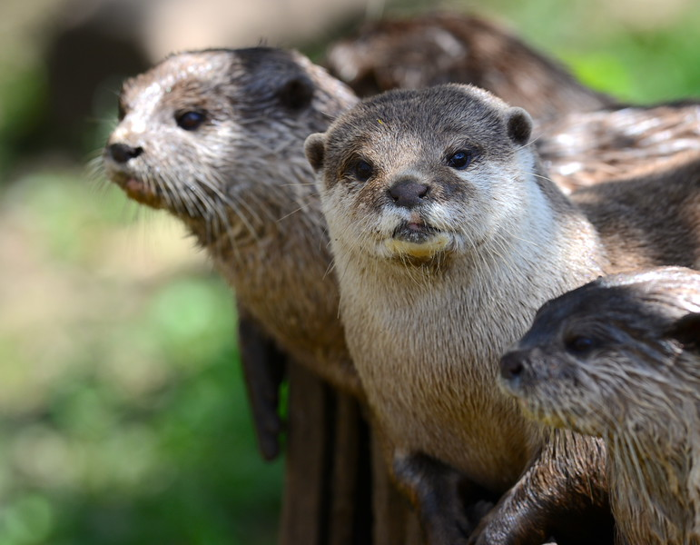 Oriental-Small Clawed Otter