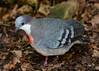 Luzon Bleeding-heart Pigeon