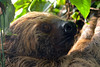 Linne's Two Toed Sloth