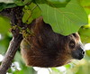 Linnes Two Toed Sloth