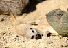 Slender Tailed Meercat